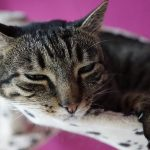 Why Do Cats Wag Their Tails While Lying Down